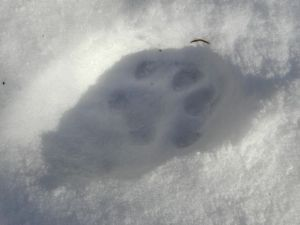 Closeup of the bobcat track. There are a few points of difference between the bobcat and fisher cat tracks.