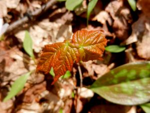 Infant sugar maple leaves.