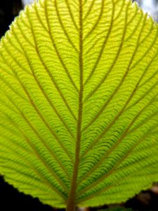 the feel of the leaf veins,