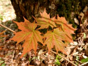 Sugar maple leaves, further along.
