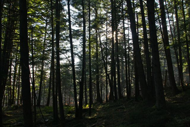 The Hemlock Forest below The Plaza