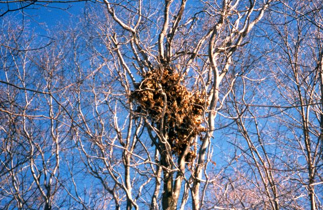 A bear nest. They cache the beech nuts by pulling off branches and stuffing them together, like filling a pantry shelf.